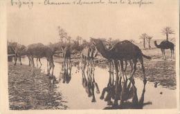 FIGUIG Chameaux à L'abreuvoir Dans La Zoufana - Neuve TTB - Algérie