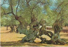 España--Mallorca--1968--Olivos Milenarios-- - Árboles