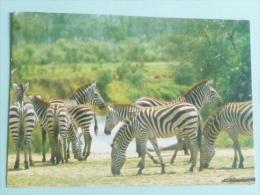 KENYA - ZEBRA - Kenya