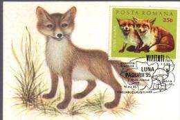 Maximum Card Romania, Animals, Fauna, Fox , Vulpes Vulpes - Timbres
