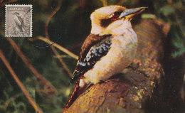 D16234 CARTE MAXIMUM CARD 1964 AUSTRALIA - KOOKABURRA KINGFISHER CP ORIGINAL - Birds