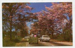 TRINIDAD & TOBAGO - AK 193632 Poui Trees In Season Offer ... On Many Trinidad Roads - Trinidad