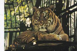 BRISTOL ZOO - TIGER - Tigers