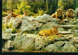 Löwe Lion Leu Zoo Tierpark Frankfurt 12.7.1965 - Lions