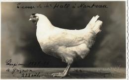 Poule - Photo De P. Darsy, Photographe à Malesherbes - Grignon 1937-38 - Fotografia