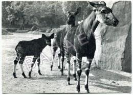 Parc Zoologique De Paris - Famille D´Okapis (Okapia Johnstoni) (Sciater) (Congo Belge) - Animaux & Faune