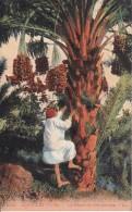 CPA  La Récolte Des Dattes (2114) - Algerien