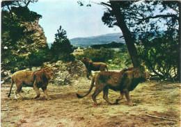 Cpm Les Lions Dans La Réserve Africaine De SIGEAN, Aude  (2.20) - Lions