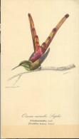 Dibujo Edouard Traviès De Oiseau Mouche Lapho - Uccelli