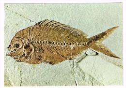 M1581 Bolca (verona) - Museo Dei Fossili - Pagellus Microdon - Pesce Fossile Dell'Eocene / Non Viaggiata - Pescados Y Crustáceos
