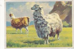 IMAGE : Lama (5,5 Cm Sur 7,5 Cm) - Vieux Papiers