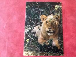 Leeuw In Afrika -> Belgium België Belgique 1970 - Lions
