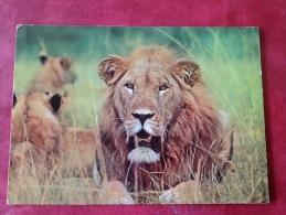 Leeuw In Afrika Lion - Lions