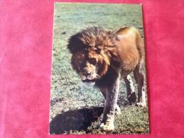 Leeuw  In Afrika. Lion - Lions