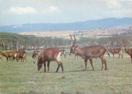 Waterbuck, Kenya Postcard - Kenya