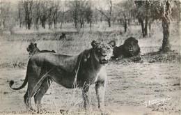 Réf : AAE14 -428 : Lions Et Lionnes - Lions