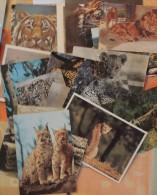 Lot De 22 Cartes Sur Les Grands Carnivores : Lions, Tigres, Hyènes, Guépards, Lynx - Cartes Postales
