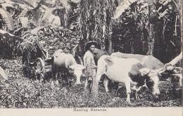 Amérique - Honduras - Hauling Bananas - Attelage Boeufs Bananes - Honduras