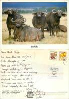 Buffalo, Kenya Postcard Posted 1990s Nice Stamp - Kenya