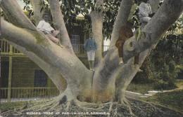 Amérique - Antilles - West Indies - Bermuda - Rubber Tree - Caoutchouc - Bermudes