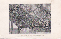 PC Hampton Court Gardens - The Great Vine - 1925 (2569) - Middlesex