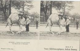 Vue st�r�oscopique Julien DAMOY/Paris/Jardin d'Acclimatation/Chameau/S �rie6 /France/ Vers 1900   STE75