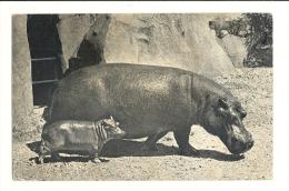 Cp, Animaux, Hippopotame Et Son Petit - Hippopotames