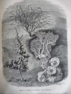Polypiers , Madrépores Et Gorgones De L'Ile Bourbon , Gravure Meaulle D'aprés Dessin Freeman 1879 Avec Texte - Documenti Storici