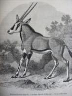 Antilope Algazelle D'Abyssinie , Gravure Smeeton D'aprés Dessin De Freeman 1879 Avec Texte - Documents Historiques