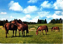 CPSM CHEVAL CHEVAUX DES FRANCHES MONTAGNES - Pferde
