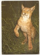 Lynx (Lynx Lynx) Lesopark Chomutov - Otros