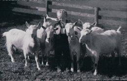 Chèvres Et Petit Chevrier (6594) - Animaux & Faune