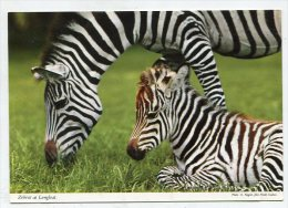 ENGLAND - AK197449 Warminster - Longleat Park - Zebras At Longleat - Autres