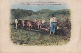 Antilles / Martinique /  Agriculture / Attelage Labours / Canne à Sucre - Martinique