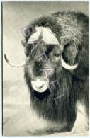 New York (États-Unis) - Muséum Américain Histoire Naturelle - Bœuf Musqué - Animaux & Faune