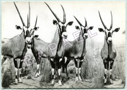 Oryx - Algazelle D´Afrique - Circulé En 1958 - Animaux & Faune