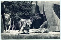Paris (75) - Muséum D´Histoire Naturelle - Zoo Bois De Vincennes - Lion Et Lionnes - Lions