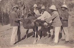 Afrique - Madagascar - Tuléar - Colons -  Récolte Des Plumes Sur L'Autruche - Madagascar