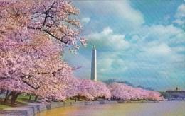 Washington Monument And Cherry Blossoms Washington D C 1962