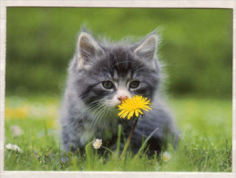 Norwegische Waldkatze - Katten