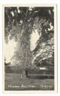 TRINIDAD  ( Antilles ) /  CANNON  BALL  TREE  ( Arbre Remarquable ) / CARTE-PHOTO , Tirage Argentique - Trinidad