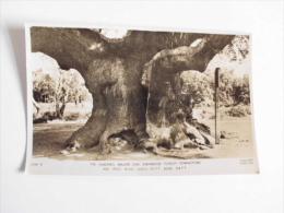 Sherwood Forest Edwinstowe. The Dukeries.Major Oak.age 1500 Years. - Altri