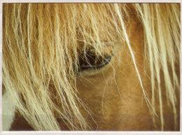 Isländer - Pferde