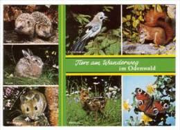 Tiere Am Wanderweg Im Odenwald , Igel - Eichelhäher - Eichhörnchen - Hase - Waldmaus - Rehkitz - Pfauenauge - Tierwelt & Fauna