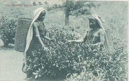 Ceylon, Tea Pluckers, Ceylon     (Sri Lanka)  (Ceylan) - Sri Lanka (Ceylon)