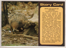 Spiny Ant - Eater Or Echidna , Tachyglossus Aculeatus - Tierwelt & Fauna