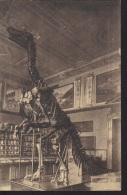 Postcard, Austria, Old = Before WWII, Prehistoric Animals, Dinosaurs, Iguanodon Skeleton In Wien, 1924 - Altri