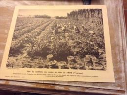 La Cueillette Des Raisins De Table Au Thor   (grand Format ) Métier - France