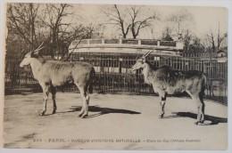Muséum D'Histoire Naturelle  :  Elans Du Cap (Afrique Australe)  –  Paris Jardin Des Plantes Zoo - Parcs, Jardins