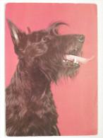 Dog  Chien  Hund/ Scotish Terrier - Cani